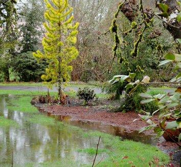 Pinus contorta var. latifolia 'Chief Joseph' 14 landscape
