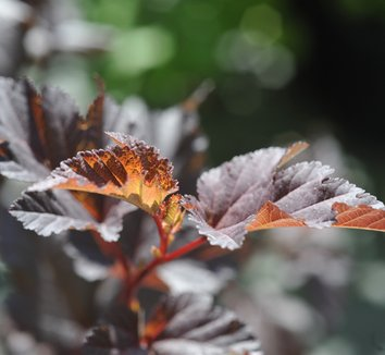 Physocarpus opulifolius 'Coppertina' 2