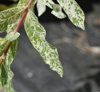 Salix integra 'Hakuro Nishiki' 2