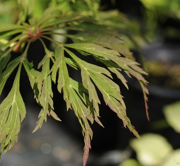 Acer japonicum 'Green Cascade' 2