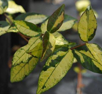 Trachelospermum jasminoides 'Orido Nishiki' 1