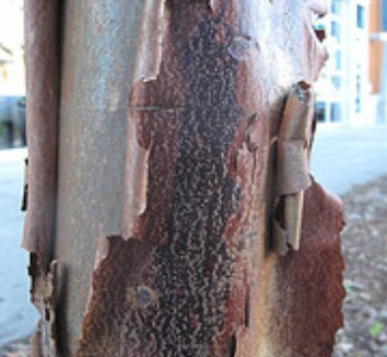 Acer griseum 6