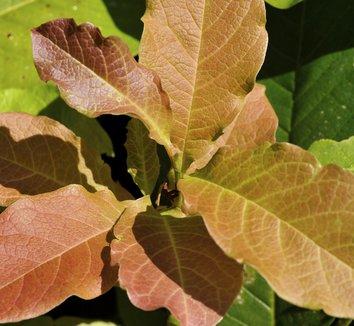 Magnolia stellata 'Jane Platt' 1