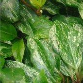 Kadsura japonica 'Chirifu'