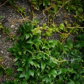 Parthenocissus 'Lowii'