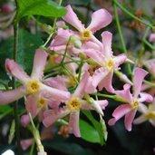Trachelospermum 'Pink Showers'