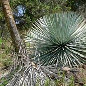 Hesperoyucca whipplei subsp. parishii