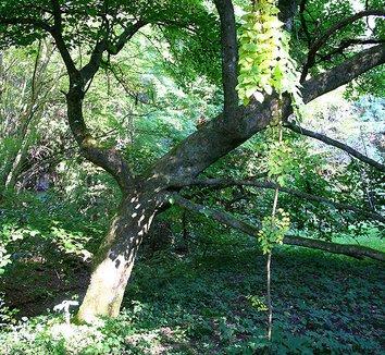 Magnolia kobus 'Borealis' 1 form