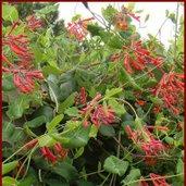 Lonicera 'Crimson Cascade'