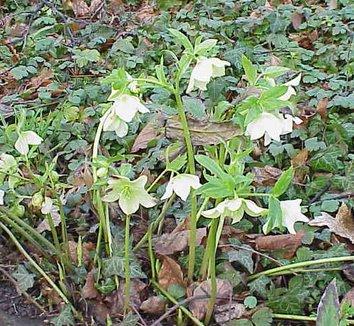 Helleborus orientalis 4 flower