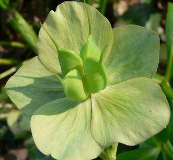 Helleborus orientalis 6 seed pod