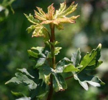 Acer campestre 'Postelense' 4