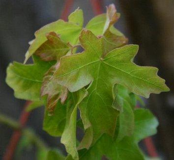 Acer campestre 'Postelense' 1