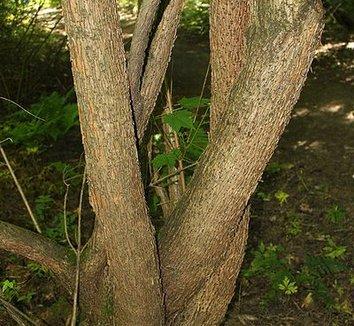 Acer caudatum ssp. ukurunduense 4 trunk