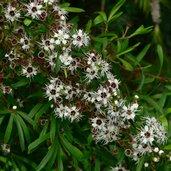 Kunzea ericoides