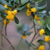 Azara integrifolia