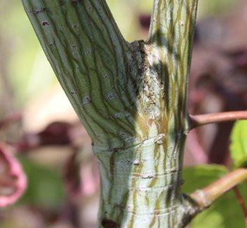Acer davidii 3 bark