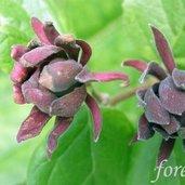 Calycanthus floridus 'Edith Wilder'