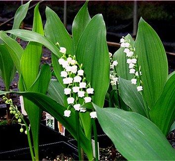 Convallaria majalis 4 flower