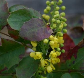 Mahonia repens 8 flower