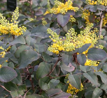 Mahonia repens 9 flower