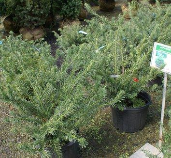 Cephalotaxus harringtonia var drupacea japanese plum yew plant lust for Cephalotaxus harringtonia duke gardens