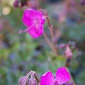 Geranium 'Crystal Rose'