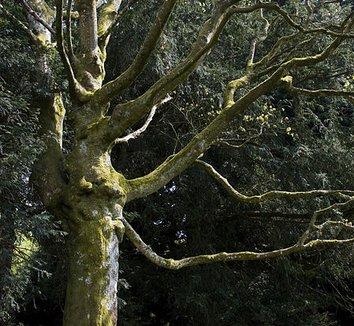 Acer cappadocicum 1 form