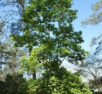 Acer coriaceifolium 5 form