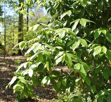 Acer coriaceifolium 1