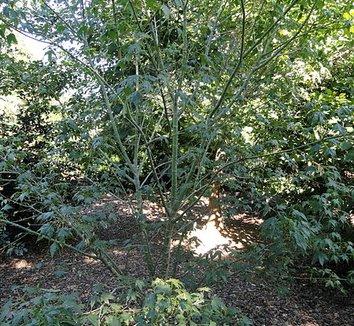 Acer elegantulum 1 form