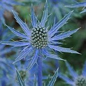 Eryngium 'Big Blue' PPAF