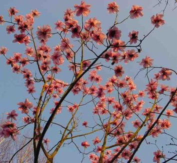 Magnolia sargentiana 'Blood Moon' 1 flower