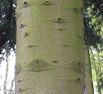 Abies homolepis 3 trunk