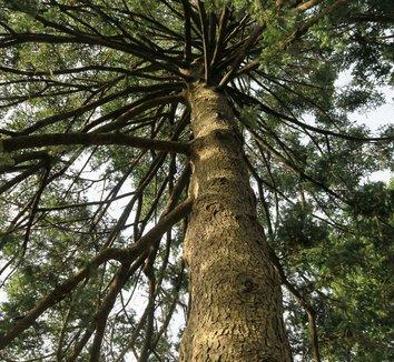Abies homolepis 4 trunk