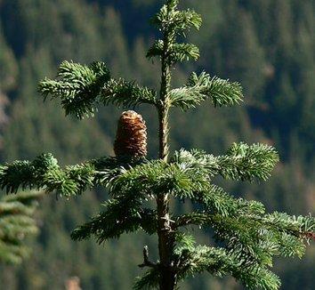 Abies amabilis 3 cones