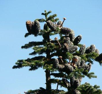 Abies amabilis 1 cones