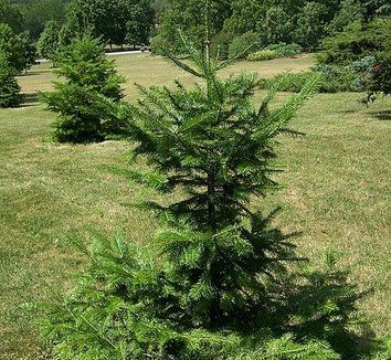 Abies nephrolepis 1 young plant