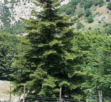 Abies nebrodensis 1 form