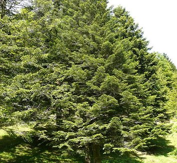 Abies nebrodensis 6 form