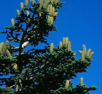 Abies nebrodensis 5 cones