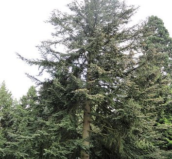 Abies chensiensis 1 form