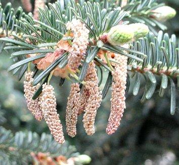 Abies chensiensis 3