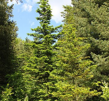 Abies sachalinensis 1 form