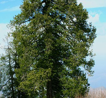 Abies pindrow 3 form