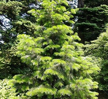 Abies pindrow 1 young plant