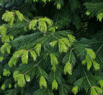 Abies pindrow 4