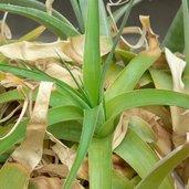 Hechtia caerulea