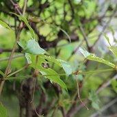 Ampelopsis glandulosa var. heterophylla