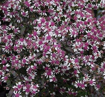 Symphyotrichum lateriflorum 'Lady in Black' 1 flower